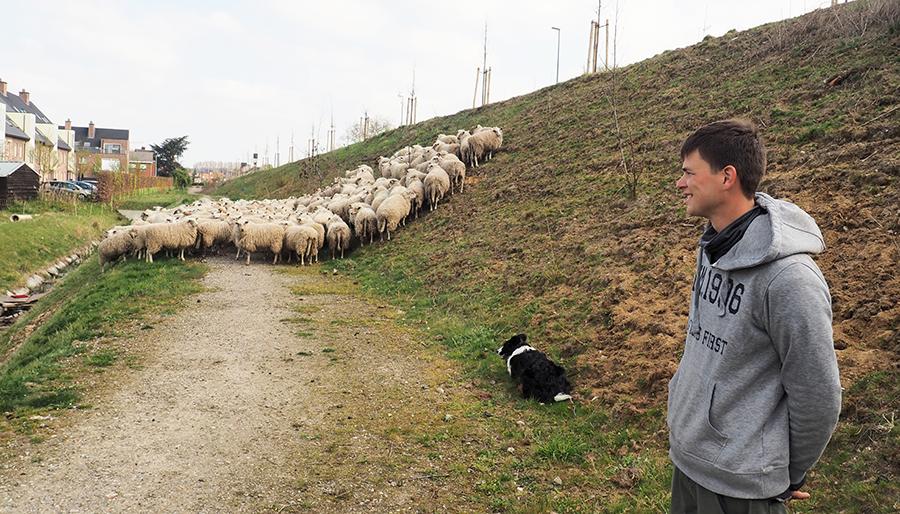 Sheep and the city: het gras is groener  daar waar de schapen staan